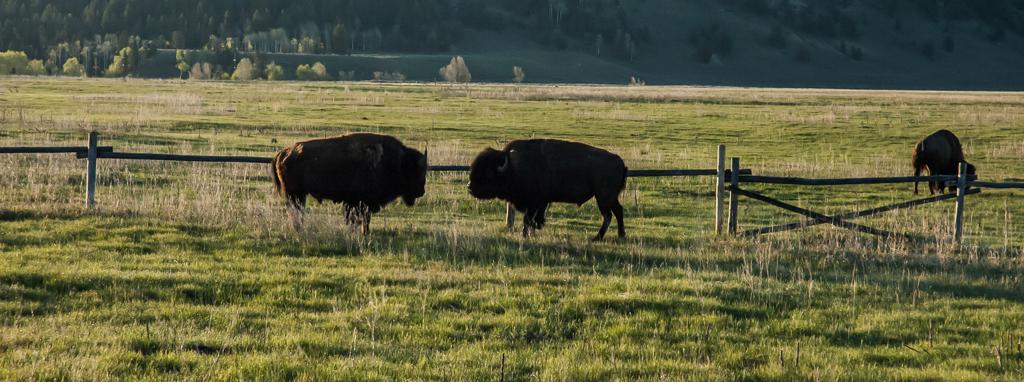 BuffaloCantJump1739