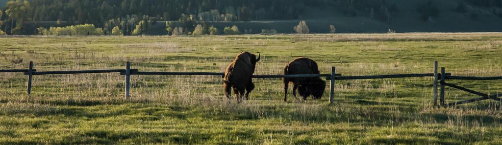 BuffaloCantJump1744