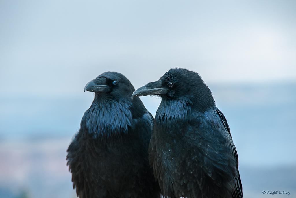 Condor-raven-duck1656