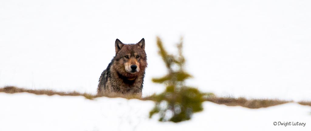 Wolf8293
