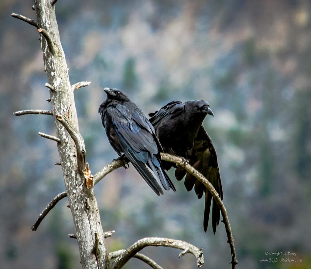 Ravens4756