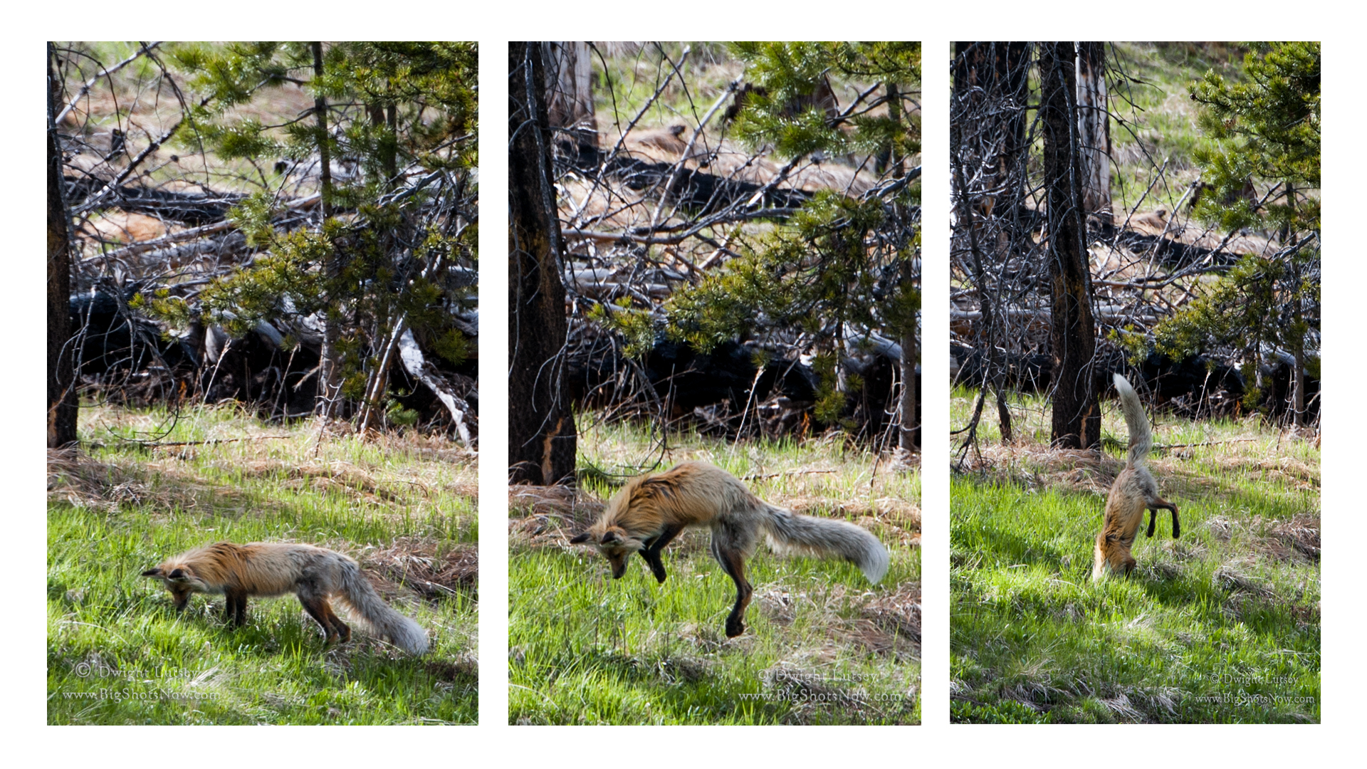 Red Fox Tryptych